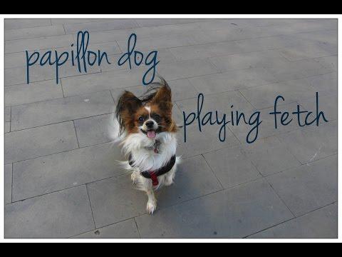 papillon dog playing fetch