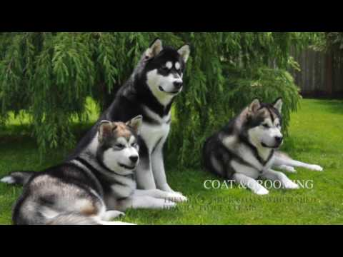 Alaskan Malamute - Dog Breed Information, Origin, History, Appearance, Temperament, Health