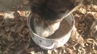 Экструдированный корм для собак(Как ест моя собака