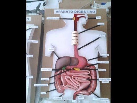 Aparato Digestivo Maqueta 1 - YouTube