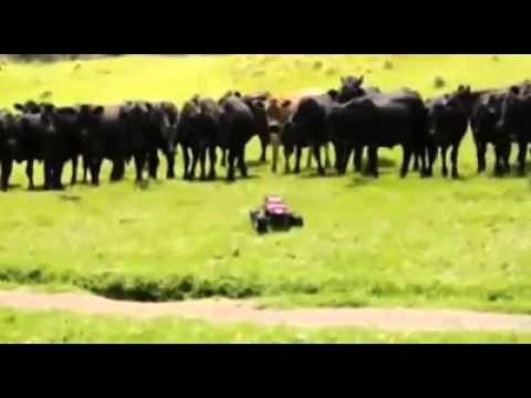 Car chased by cows