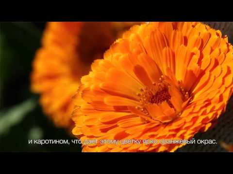 Цветы календулы лекарственной сбор, полезные свойства для красоты кожи