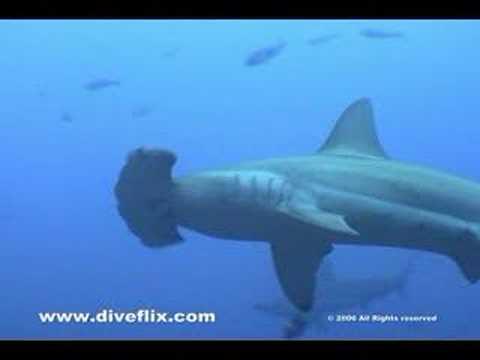 Hammerhead Sharks - Cocos, Costa Rica