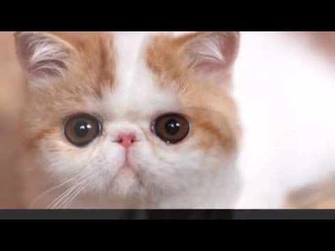 Classification of Cat Breeds, #E-J:  Egyptian Mau cat, Exotic Shorthair cat, Himalayan  | DISCOVER