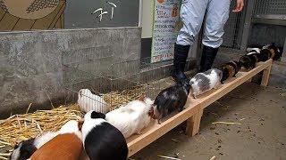 橋を渡ってバックヤードへと帰って行くテンジクネズミたち (千葉市動物...