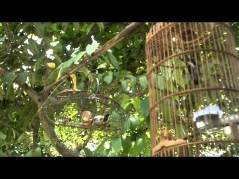 Chim Ốc Mít mồi bao đánh của anh Liêm - Phước Long- Bình Phước.