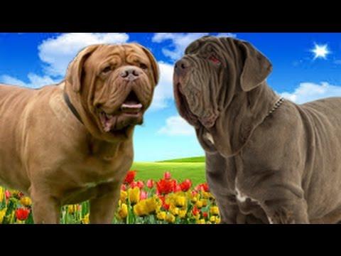 Dogue de Bordeaux VS Neapolitan Mastiff   Highlights