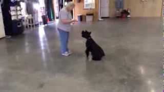 Reagan Giant Schnauzer Cool Tricks- Obedience Trained Giant Schnauzer For Sale