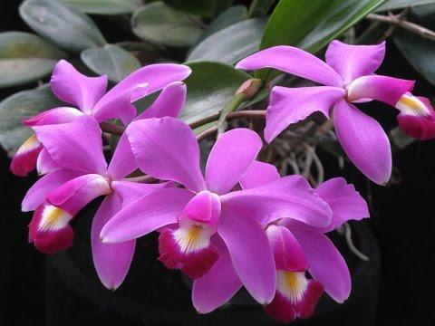 Мой уход за орхидеями Каттлея