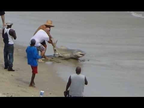 Fisherman Catches a Shark in Florida, Dolphins Celebrate