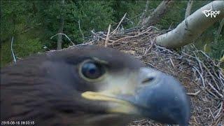 Stir en havørne-unge i øjnene - white-tailed eagle