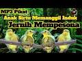 Suara Pikat Anak Burung Sirtu Minta Loloh Jernih Dan Berkualitas  Mp3 - Mp4 Download