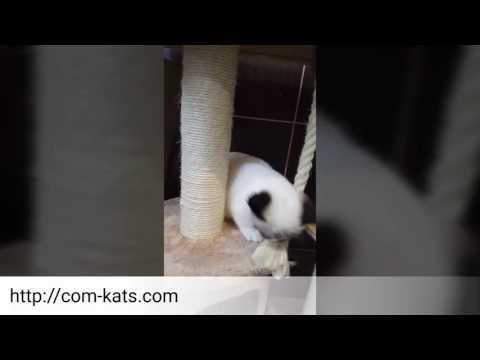 munchkin kitten blue eyed for sale