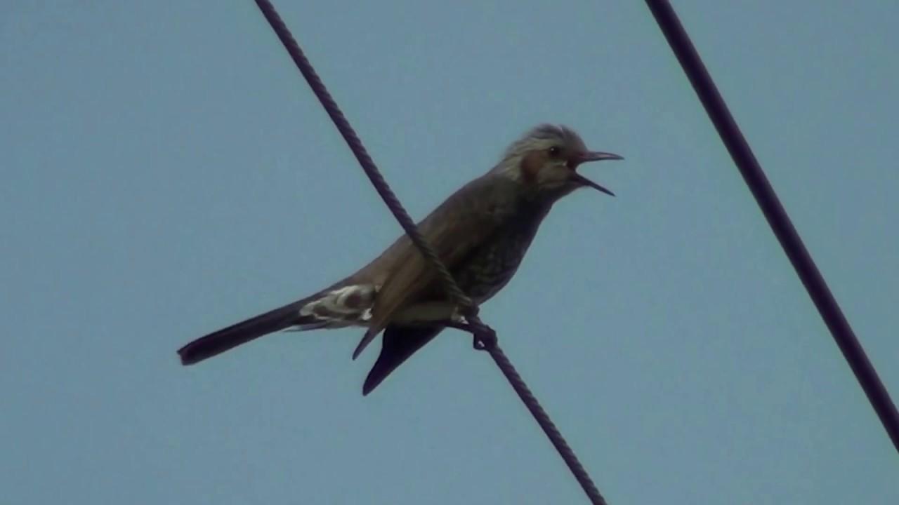 ヒヨドリ の 鳴き声 ヒヨドリの生態!鳴き声の特徴や寿命等12個のポイント!