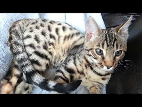 HE IS HOME! 12 week old bengal kitten
