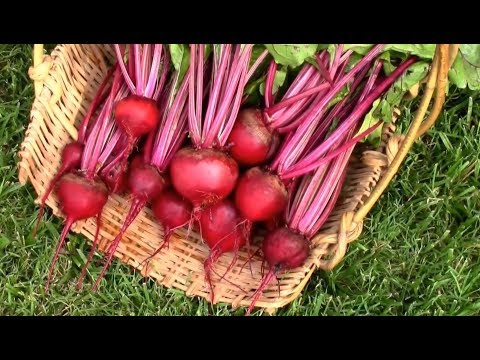 Harvesting Detroit Dark Red Beets.
