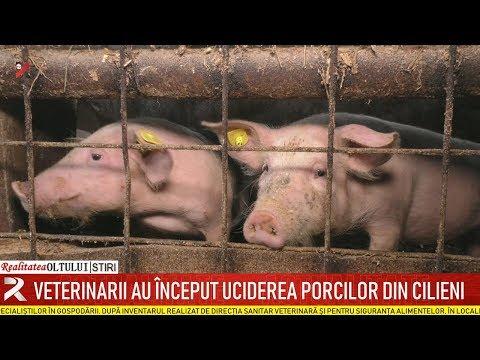 Veterinarii Au început Uciderea Porcilor Din Cilieni