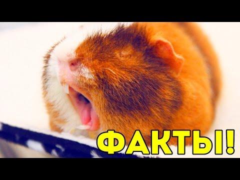 Интересные Факты о Морских Свинках! / Свинки Шоу / SvinkiShow