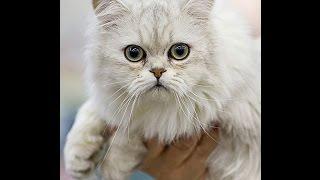 Шантильи - тиффани кошка