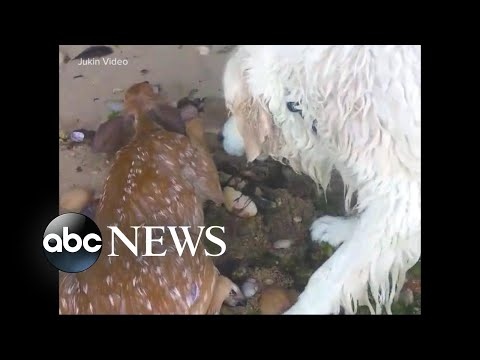Superhero dog saves fawn desperately struggling to stay afloat off Long Island Sound