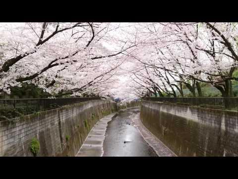 Deep Tokyo! Best Cherry Blossoms Located Kaga Park Itabashi