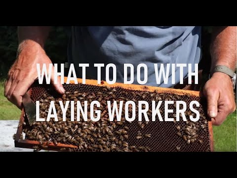 Laying Worker