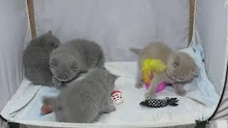 Британские котята в возрасте 4 недели (Litter-F2)
