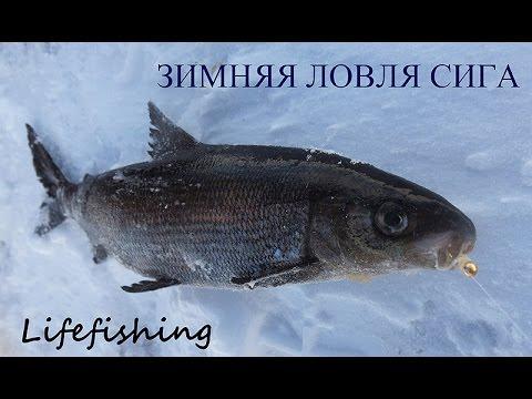 прикормки для зимней рыбалки для сига
