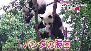 藤岡みなみのパンダを巡る旅、第3弾。成都のパンダ基地を訪れたパンダ研...