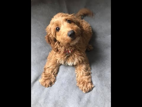 Margot - 11 Week Old Cockapoo Puppy - 4 Weeks Residential Dog Training