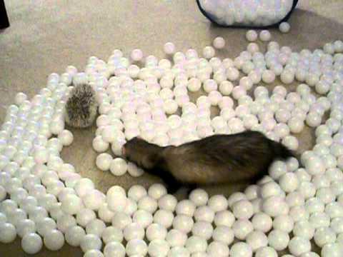 Ferrets, Hedgehog & Ping Pong Balls