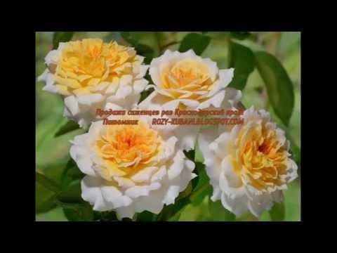 У нас вы можете купить розы совершенно на любой вкус, среди которых присутствуют элитные сорта, а также разновидности, которые имеют.