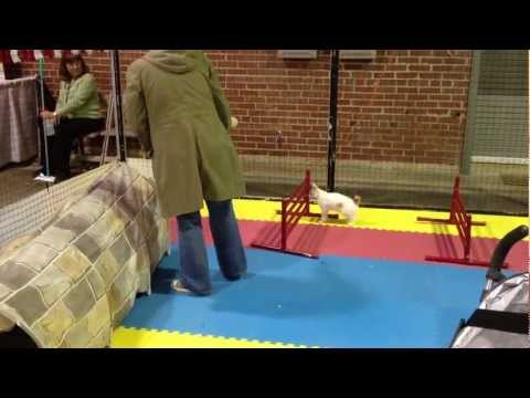 Cat Agility Course at Cat Fanciers
