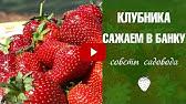 20 июн 2014. Секрет выращивания гигантской клубники в воронежской области растет гигантская клубника. Отдельные экземпляры ягод достигают.