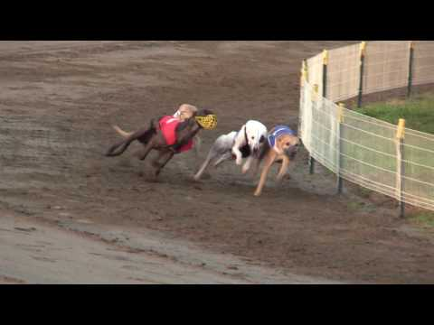 FCI Racing World Championship 2016, whippet males