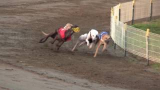 fci racing world championship 2016 whippet males