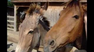 Repeat youtube video Zebra Bred with Horse & Donkey (Zorse & Zonkey)