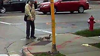 Watch: Good Samaritan Helps Family of Ducks Cross Busy Intersection Near UW-Milwaukee