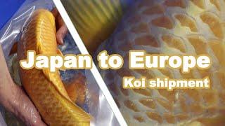 Importing Koi From Japan   Koi Shipment   Europe