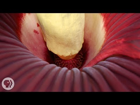 This Giant Plant Looks Like Raw Meat and Smells Like Dead Rat | Deep Look