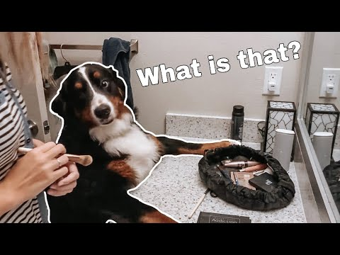 Life With A Bernese Mountain Dog! | Part Two