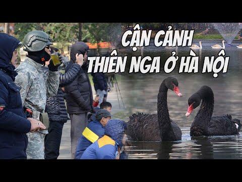 Cận cảnh Thiên Nga ở Hà Nội: Người dân ùn ùn đổ đi xem!