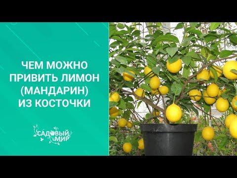 Чем можно привить лимон мандарин из косточки