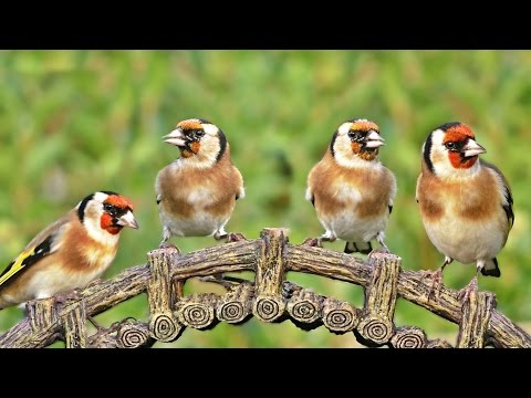 Videos for Cats to Watch : Goldfinch Birds at The Bridge