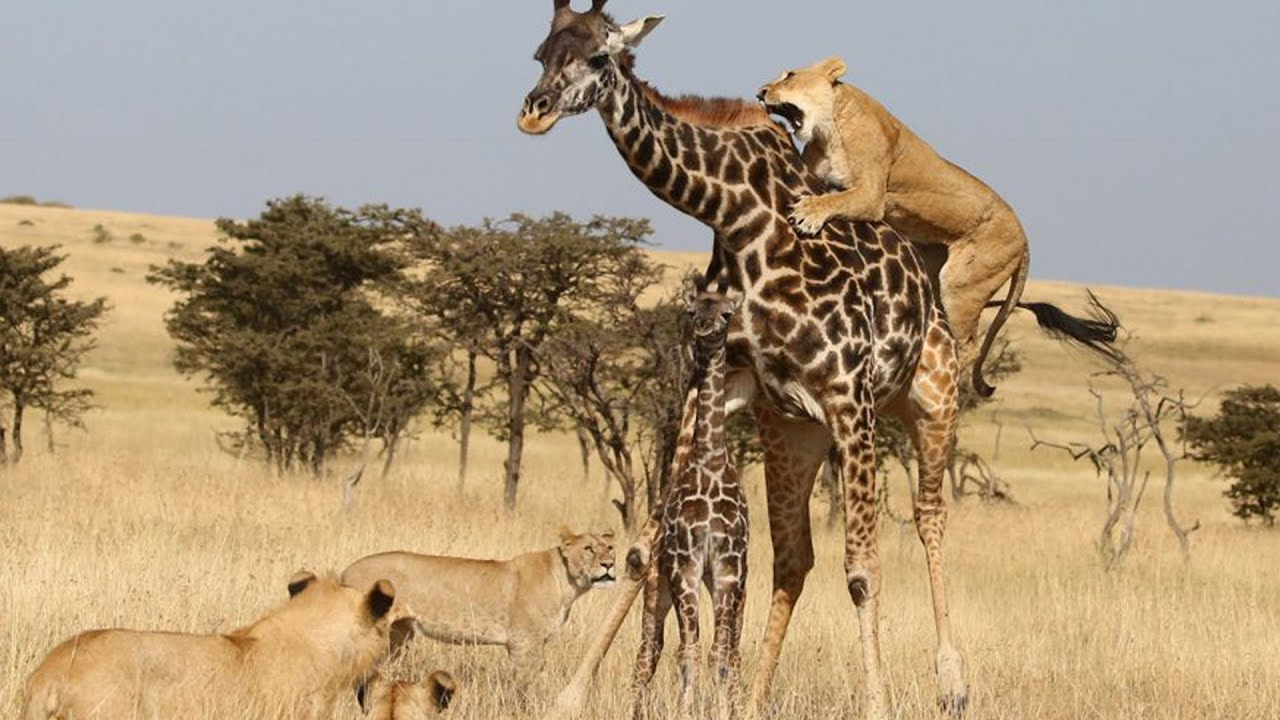 Download TOP GIRAFFE VS LION MOMENTS