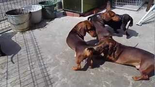 雄達の戯れhttp://dachshunda.com/子犬の販売もしていますので見てくだ...