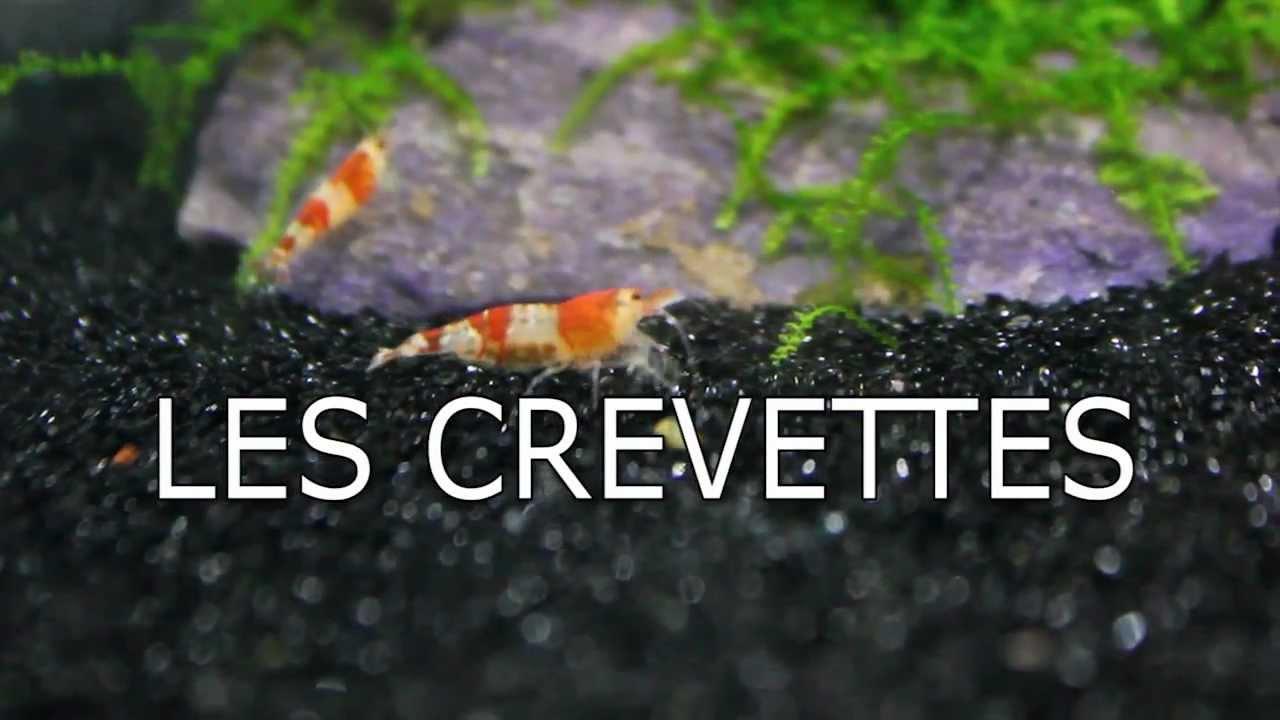 les crevettes d eau douce en aquarium soft water shrimp