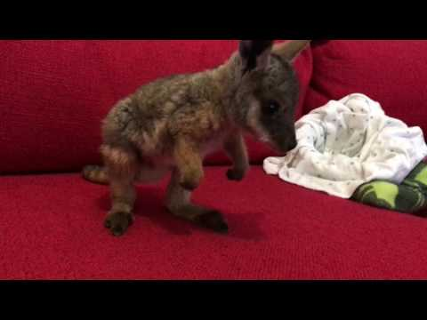 Wobbly wallaby takes first steps