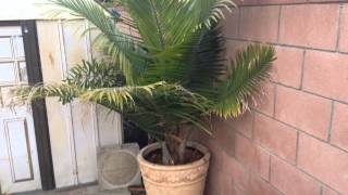 Majesty palm (update)