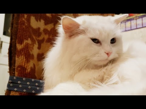 Cute cat videos - Turkish angora cats are very tender & affectionate